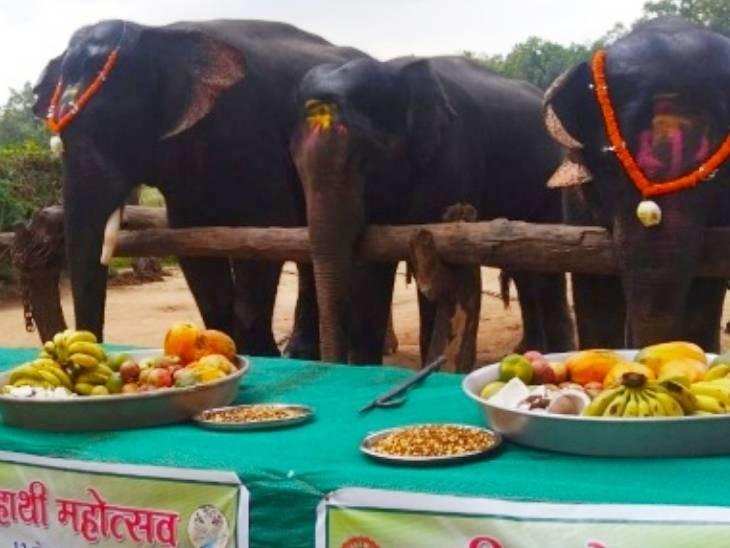 सीधी में हाथियों को खाना खिलाया गया।