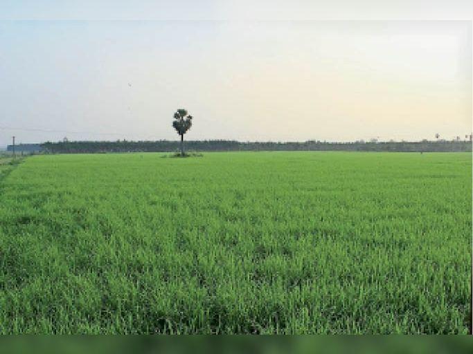 झमाझम बारिश से खेतों में लहलाते धान की फसल। - Dainik Bhaskar
