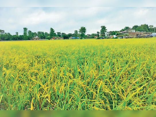 किसानों द्वारा खेतों में लगाए गए धान की फसल। - Dainik Bhaskar