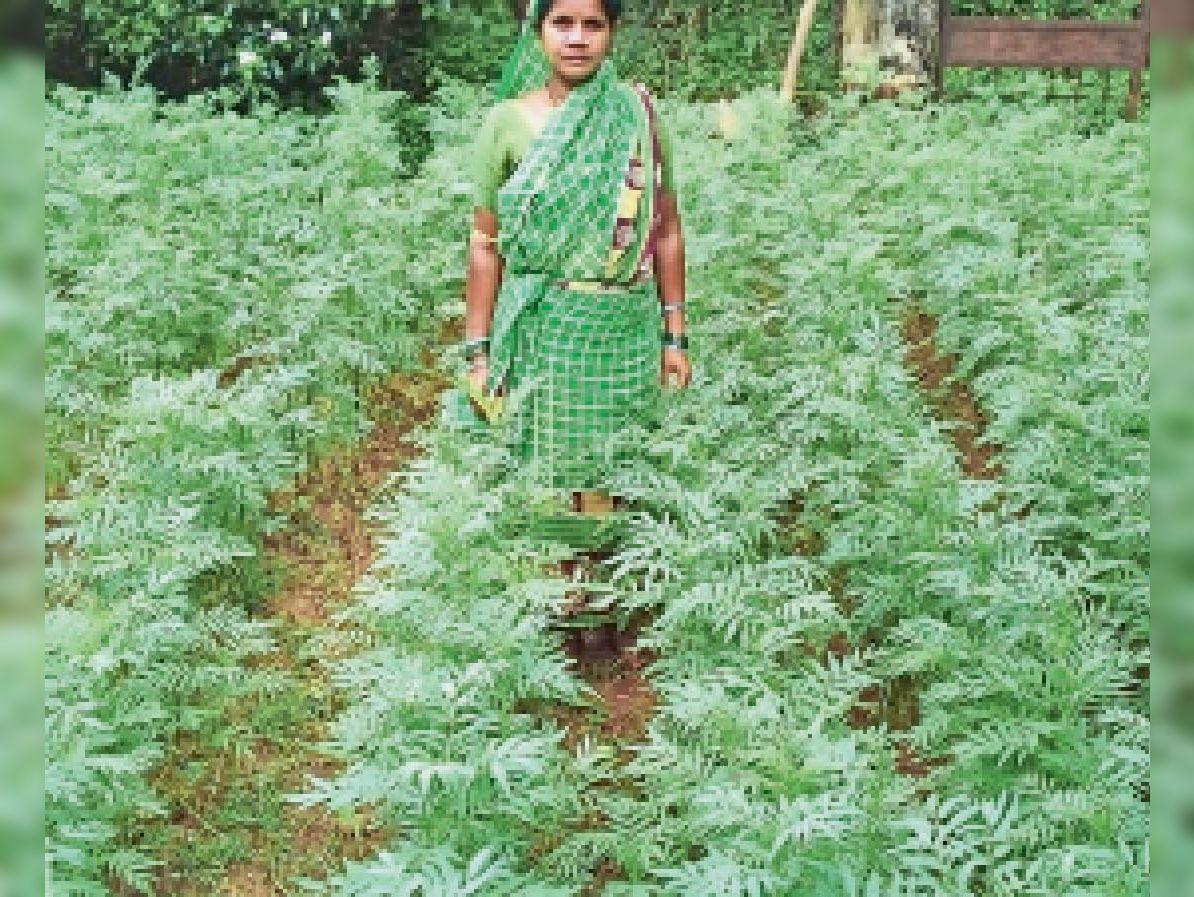 तारापुर की किसानों ने खेत में लगाए हैं गेंदे के पौधे - Dainik Bhaskar