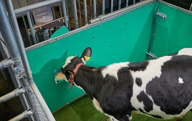 ट्रेनिंग देने के बाद 16 में से 11 गाय अपने टॉयलेट में मलत्याग करना सीख गईं थी।