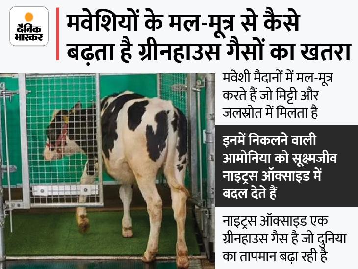 गायों को इंसानों की तरह टॉयलेट का इस्तेमाल करना सिखाया, जर्मन वैज्ञानिकों दावा; इससे ग्रीनहाउस गैस के उत्सर्जन को कंट्रोल कर सकेंगे लाइफ & साइंस,Happy Life - Dainik Bhaskar