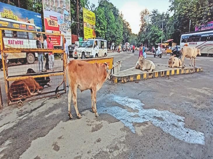 शहर की सड़काें पर गोवंश का डेरा रहता है। - Dainik Bhaskar