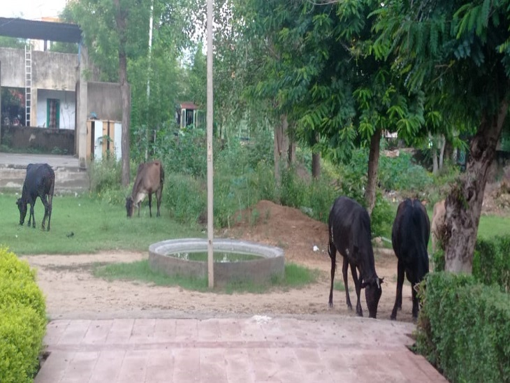 सड़कों के बाद अब पार्क में बेसहारा पशुओं की मॉर्निंग वॉक, गत दिनों इसी पार्क के तालाब में डूबने से एक युवक की हुई थी मौत|सीकर,Sikar - Dainik Bhaskar