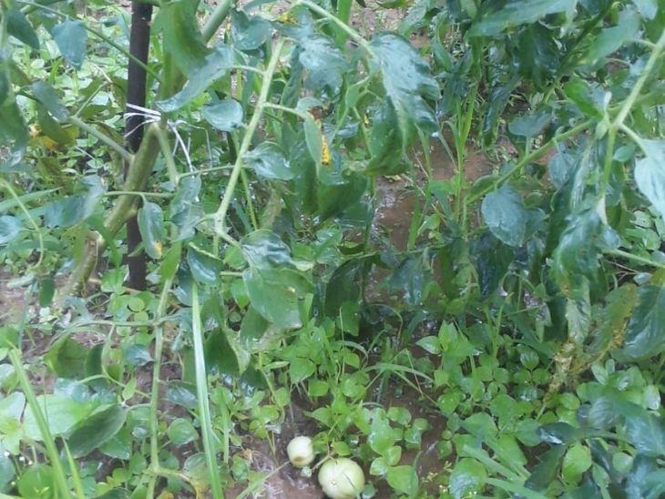 तस्वीर कटकमसांडी की है। यहां बारिश की वजह से टमाटर टूटकर गिर रहे हैं। पौधा गलने लगा है।