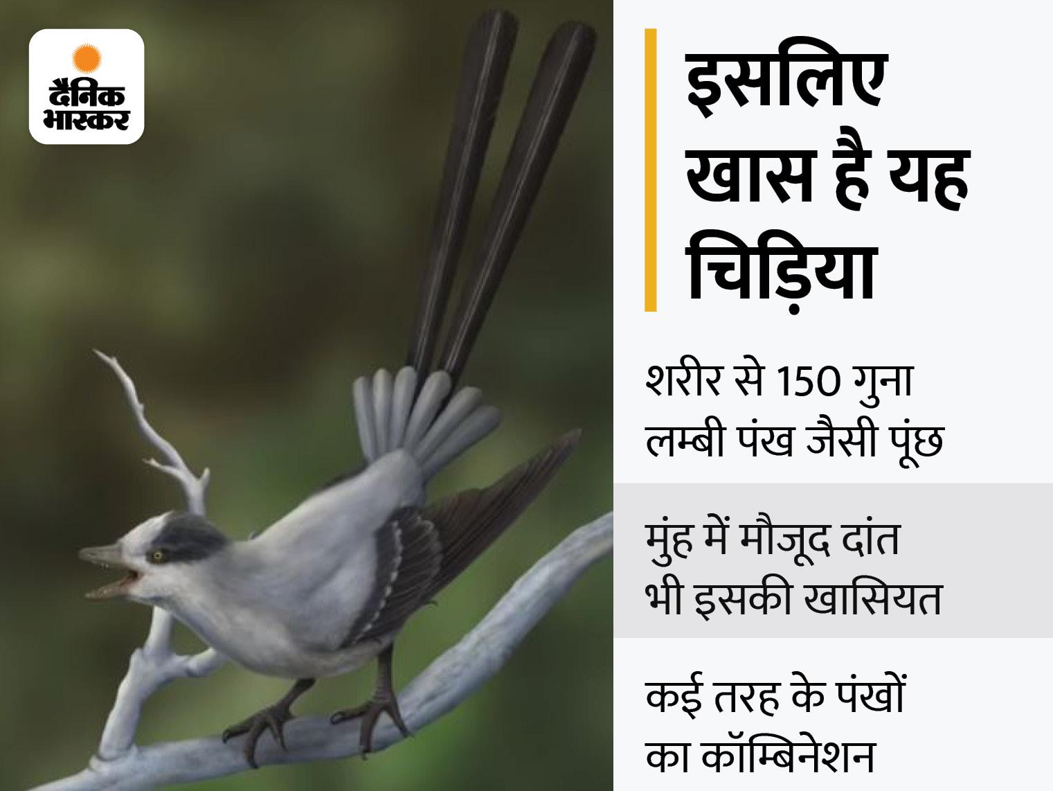12 करोड़ साल पहले मोर की तरह दिखने वाली चिड़िया अब खोजी गई, यह शरीर से 150 गुना लम्बी पूंछ से नर चिड़िया को रिझाती थी|लाइफ & साइंस,Happy Life - Dainik Bhaskar