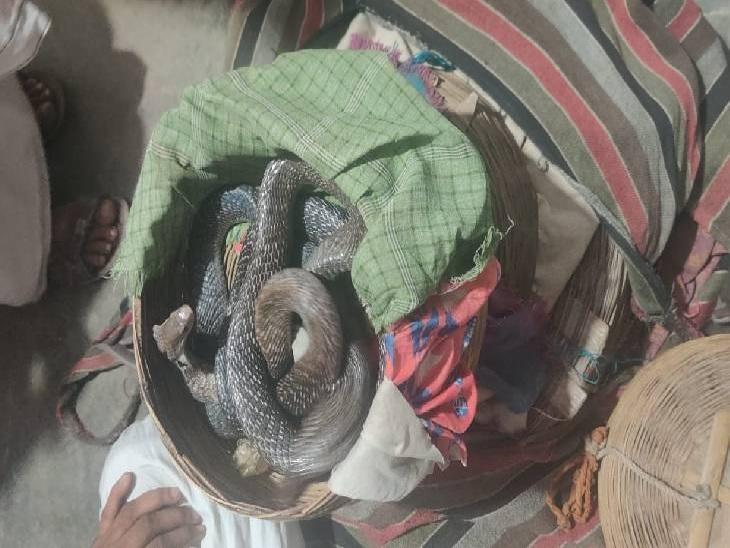 पांच सांप 20 लाख रुपए में बेचने हरियाणा से आए थे गाजियाबाद, NGO ने सौदेबाजी कर पकड़ा और किया पुलिस के हवाले|गाजियाबाद,Ghaziabad - Dainik Bhaskar
