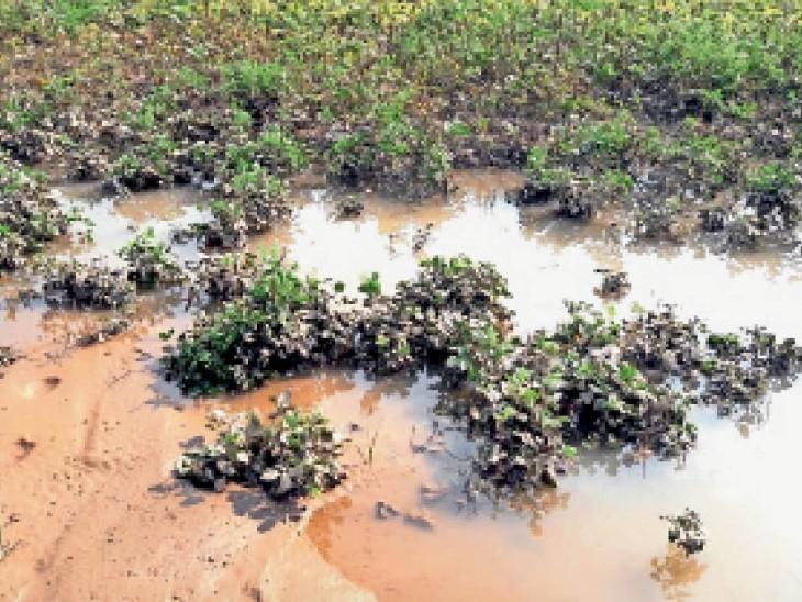 सीकर लक्ष्मणगढ के पास एक खेत में चवला कि फसल में पानी इक्टा हाेने के कारण खराब हाे गई - Dainik Bhaskar