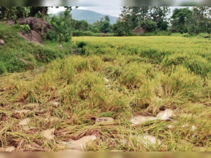 महाराष्ट्र की ओर बढ़ रहे थे हाथी पर आधे रास्ते से फिर राजाडेरा के जंगल में लौट आए राजनांदगांव,Rajnandgaon - Dainik Bhaskar