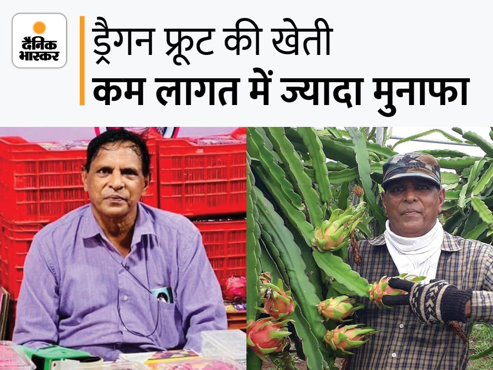 गुजरात के इंजीनियर ने रिटायरमेंट के बाद ड्रैगन फ्रूट की खेती शुरू की; सालाना 8 लाख रु. कमाई, जानिए आप कैसे कर सकते हैं शुरुआत|DB ओरिजिनल,DB Original - Dainik Bhaskar