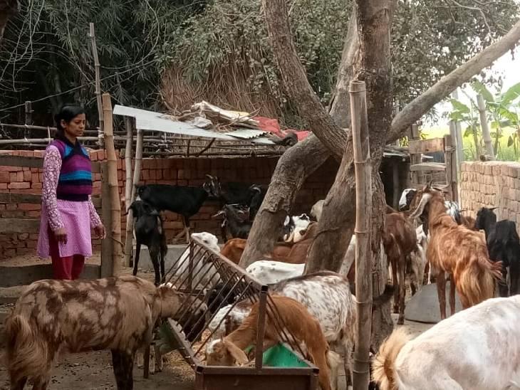 5 साल पहले छोड़ी दवा कंपनी की नौकरी, गोट फार्मिंग से जुड़ बन गईं प्रगतिशील किसान; 28 परिवारों को दे रहीं रोजगार|बस्ती,Basti - Dainik Bhaskar