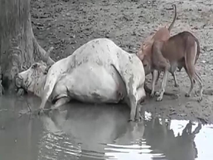 लोगों ने कहा- नगर पंचायत के कर्मचारी मरे हुए जानवरों को फेंक कर चले जाते हैं, सीवीओ ने कही जांच करवाने की बात|कौशांबी,Kaushambi - Dainik Bhaskar