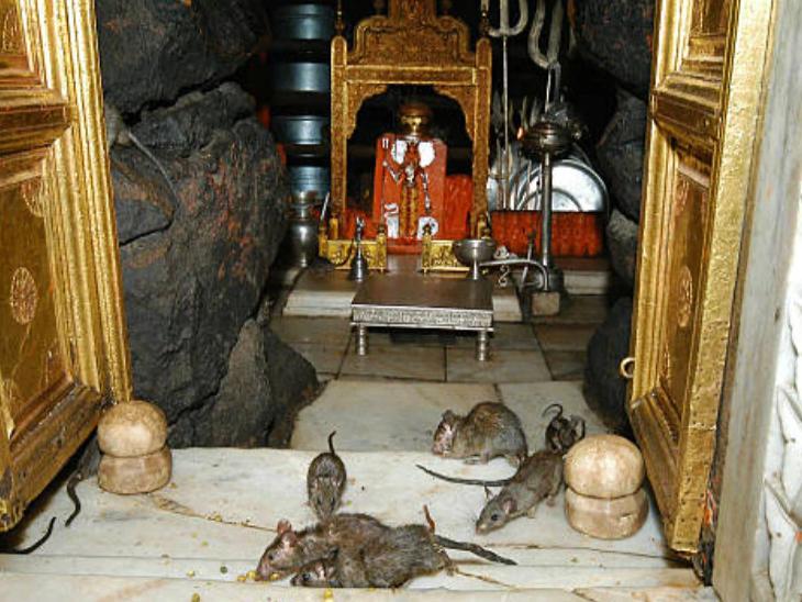 करणी माता मंदिर देशभर में चूहों वाले मंदिर के नाम से प्रसिद्ध है।