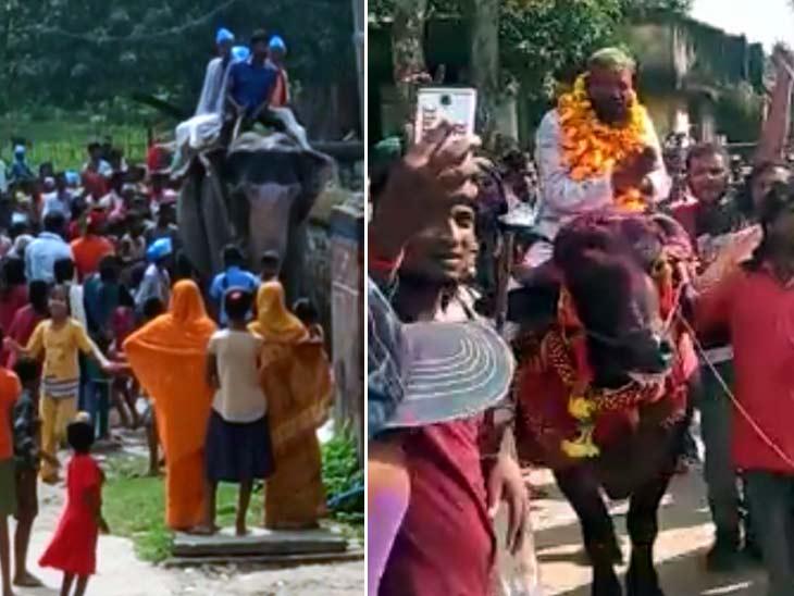 बेतिया में हाथी पर सवार हो चुनाव प्रचार करते दिखे पंचायत समिति प्रत्याशी के पति, मधेपुरा में भैंसा पर चढ़ नामांकन करने पहुंचा उम्मीदवार|बिहार,Bihar - Dainik Bhaskar