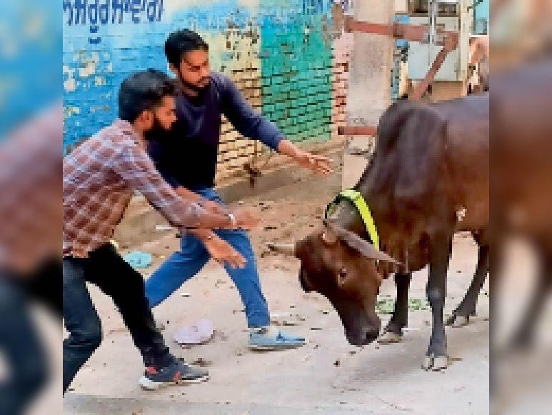लावारिस पशुओं के गले में रेडियम बेल्ट डालते नगर निगम के कर्मचारी। - Dainik Bhaskar