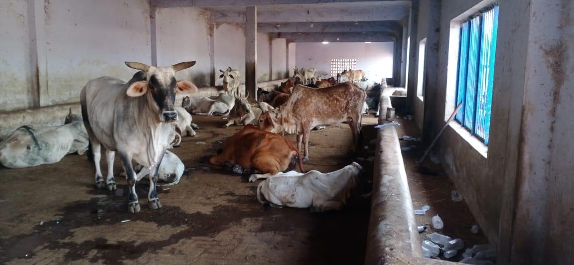 गौशाला में बीमार गाय, पास में खोर में पड़ी खाली ग्लूकोज की बोतलें।