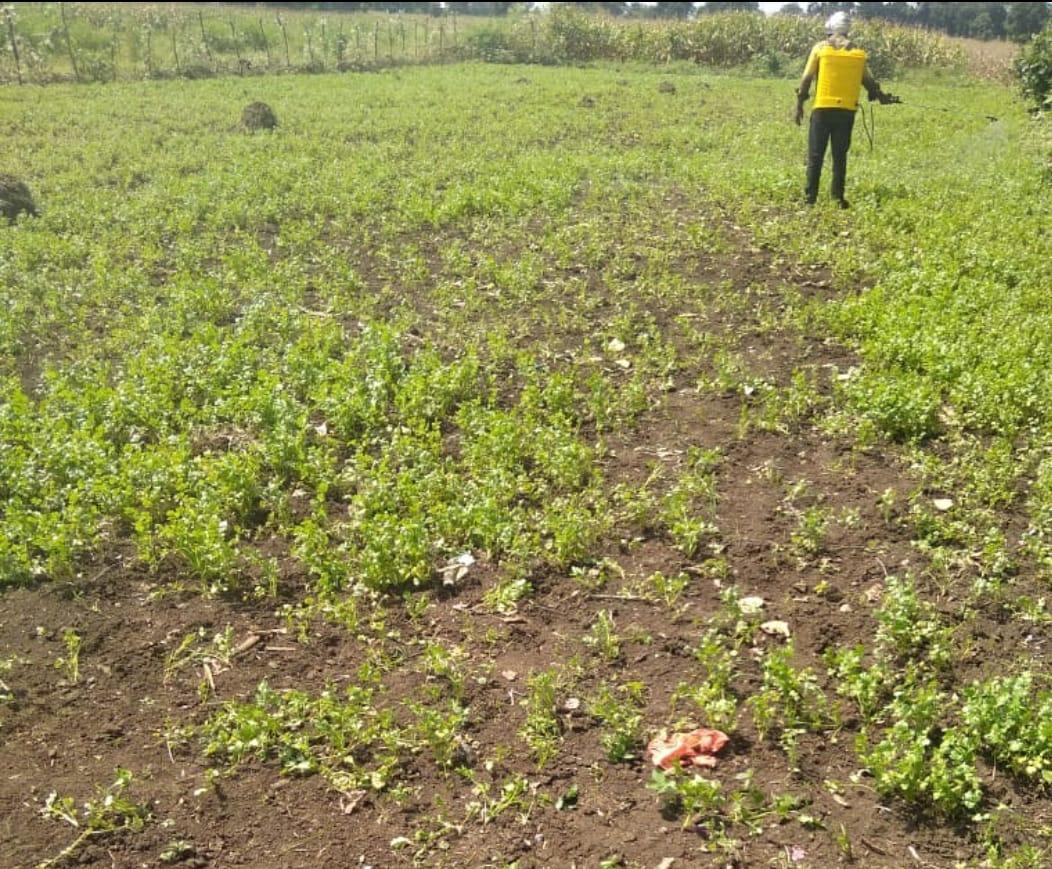 आधी रात को अज्ञात चोरों ने खेत से उखाड़ ले गए एक एकड़ खेत में लगा धनिया, पीड़ित किसान ने थाने में की शिकायत|छिंदवाड़ा,Chhindwara - Dainik Bhaskar