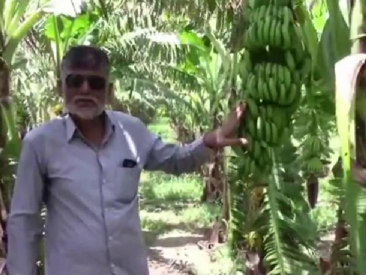 सान बृजेश त्रिपाठी ने बताया कि वह महाराष्ट्र के जलगांव गए हुए थे। जहां पर उन्होंने केले की खेती की बागवानी को देखा।