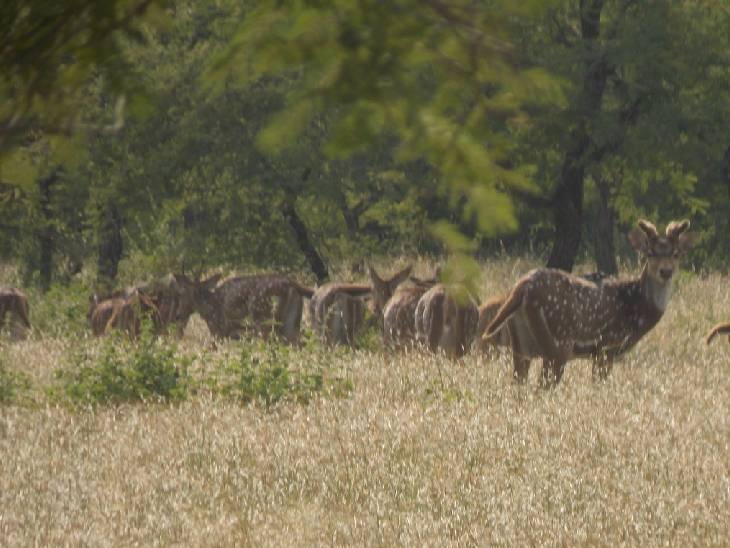 गांधीसागर अभ्यारण में घूमते हिरण। - Dainik Bhaskar