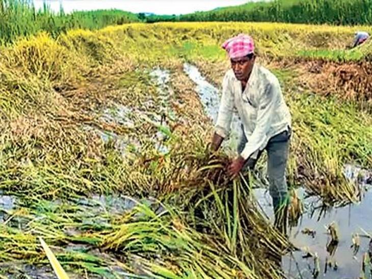 30 जिलों में बाढ़ व अधिक बारिश से फसलों का नुकसान; 7.84 लाख हेक्टेयर में 970 करोड़ रुपए की फसल क्षति|पटना,Patna - Dainik Bhaskar