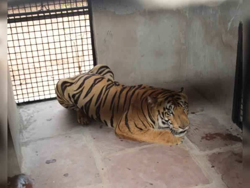 बाघ, फाइल फोटो। - Dainik Bhaskar