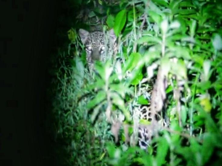 संत सरोवर के पास घनी झाड़ियों के बीच दिखा तेंदुआ, थोड़ी देर बाद जंगल में लौटा, आबादी क्षेत्र में लगातार नजर आ रहे हैं जंगली जानवर|माउंट आबू,Mount abu - Dainik Bhaskar