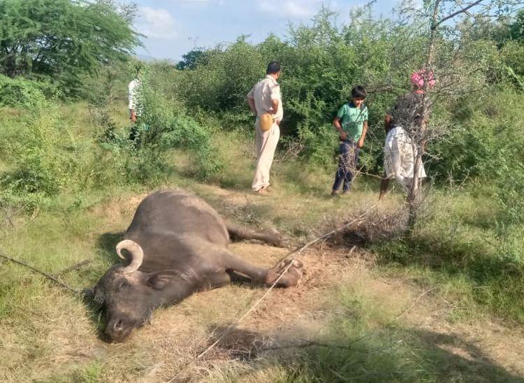 करंट की चपेट में आने से 3 मवेशियों की मौत, पशुपालक परेशान|पाली,Pali - Dainik Bhaskar