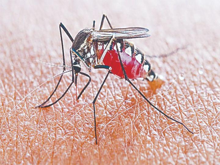 शहर में डेंगू के 150 मरीज दूसरे राज्यों के इससे ही फैला, 4 दिन की जांच में खुलासा रायपुर,Raipur - Dainik Bhaskar