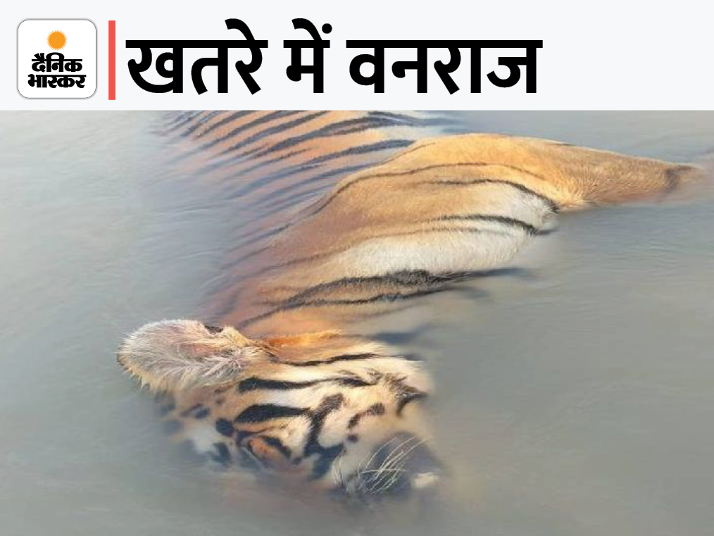 फॉरेस्ट अफसरों ने कहा- रिपोर्ट आने पर मिलेगी सही जानकारी, 13 दिन पहले लखीमपुर में मिली थी बाघ की लाश|बहराइच,Bahraich - Dainik Bhaskar