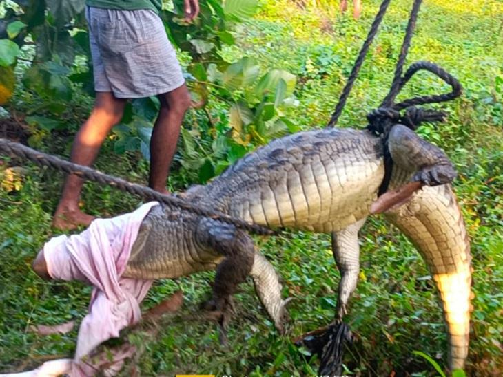 8 फीट लंबा मगरमच्छ पेट्रोल पंप में घुसा, निकालने में लगे दो घंटे; किचन से निकला किंग कोबरा|बगहा,Bagha - Dainik Bhaskar