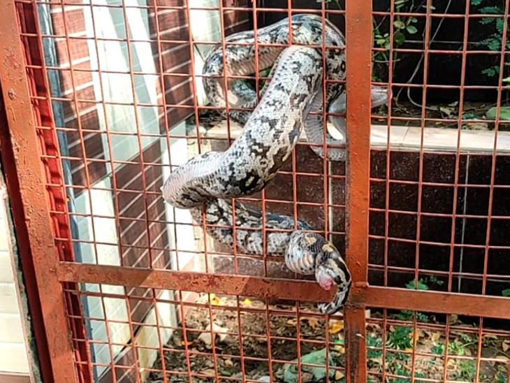 चूहे का शिकार कर बाहर निकल रहा था, पिंजरे की जाली में फंसा गया, डेढ़ घंटे की मशक्कत के बाद रेस्क्यू किया कोटा,Kota - Dainik Bhaskar