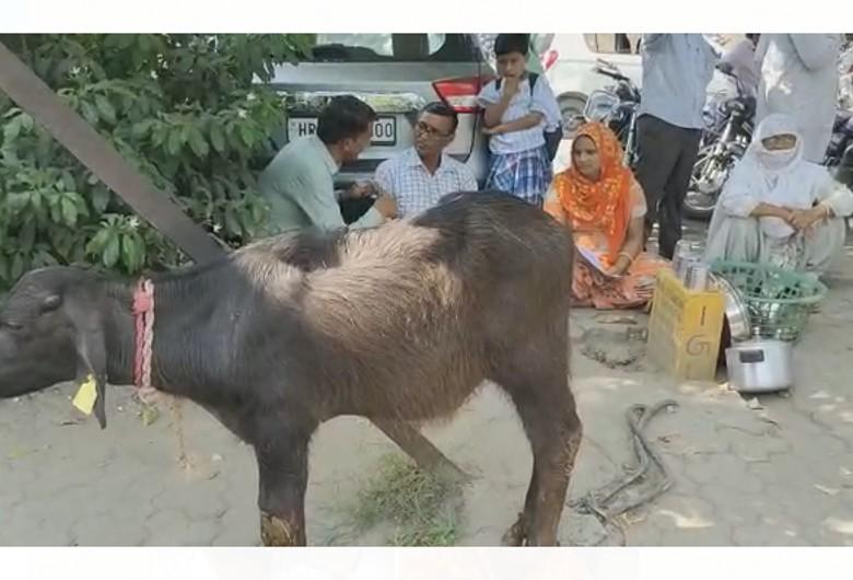 महिला का ताऊ-चाचा से जमीन को लेकर तकरार में पुलिस पर कार्रवाई न करने का आरोप; सचिवालय के बाहर बांधे पशु|करनाल,Karnal - Dainik Bhaskar