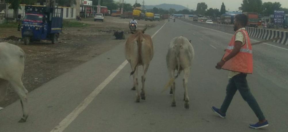 उदयपुर-गोमती हाइवे पर लगता था पशुओं का जमावड़ा,हादसों में कमी लाने के लिएगश्ती दल ने सड़क से किया दूर|राजसमंद,Rajsamand - Dainik Bhaskar