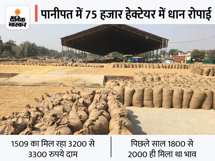 खरीद प्रक्रिया की रफ्तार कम होने से कई-कई दिन बाद आ रहा है किसानों का नंबर, पिछले साल के मुकाबले मिल रहे अच्छे दाम|पानीपत,Panipat - Dainik Bhaskar