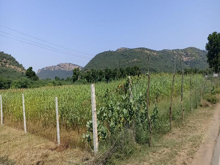 हिन्दवाड़ गांव में एक खेत में खड़ी फसल। - Dainik Bhaskar