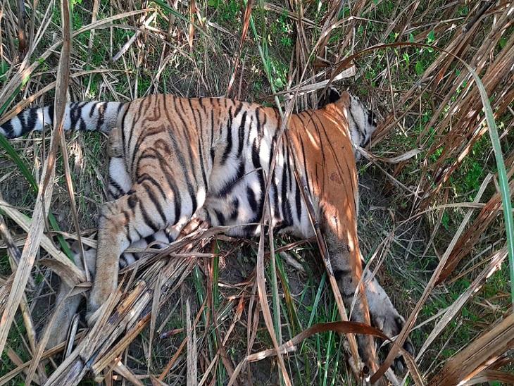 गन्ने के खेत में मिला शव, दो बाघों के बीच संघर्ष में मौत की आशंका; चरवाहों ने दी वन विभाग को सूचना|बेतिया (पश्चिमी चंपारण),Bettiah (West Champaran) - Dainik Bhaskar