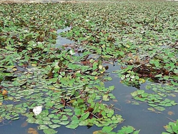 शहर के आसपास के 20 तालाब अब होंगे महिलाओं के हवाले; मछली पालन, मखाने-सिंघाड़े की होगी खेती भोपाल,Bhopal - Dainik Bhaskar