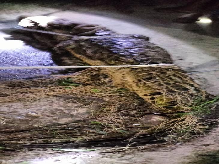 खाने की तलाश में बांध से आया बाहर, वन विभाग ने पकड़कर चन्द्रप्रभा बांध में छोड़ा|चंदौली,Chandauli - Dainik Bhaskar