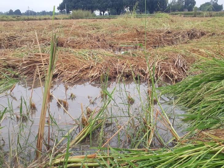 खेत में धान की खड़ी फसल गिरी, कटी फसल जलभराव में बह गई कौशांबी,Kaushambi - Dainik Bhaskar