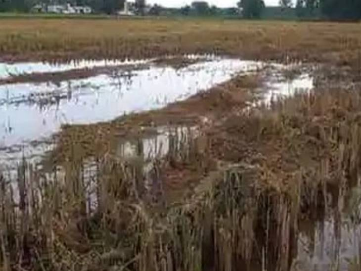 पानी में डूबी धान की फसल, किसानों को भारी नुकसान, पशुओं को चारा भी नहीं नसीब|महराजगंज,Maharajganj - Dainik Bhaskar