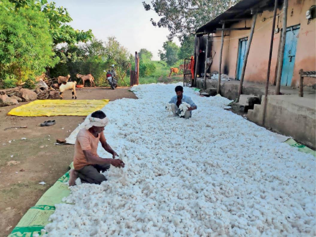 अब भीगी कपास व सोयाबीन फसलों को सुखाने में जुटे किसान ताकि भाव अच्छे मिले|निंबोला,Nimbola - Dainik Bhaskar