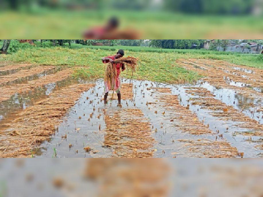 किसान हुए बेहाल, खेताें में सड़ने गलने लगी है धान की फसल|हसनगंज,Hasanganj - Dainik Bhaskar