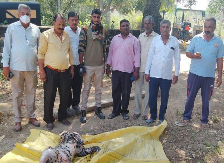 46 घंटे बाद निकाला मादा तेंदुए का शव, जगह-जगह से बाहर आई चमड़ी|पाली,Pali - Dainik Bhaskar