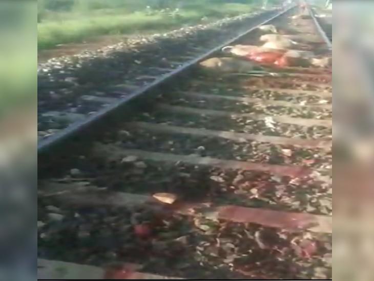 रेल की पटरियों पर अचानक आ गया गायों का झुंड, काटती निकल गई ट्रेन, 16 गाय की मौत, 3 घायल|ग्वालियर,Gwalior - Dainik Bhaskar