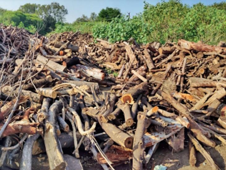 निगम के पास कोई हिसाब नहीं, शहर में हर साल गायब हो जाती हैं 6 करोड़ रुपए की लकड़ियां|भोपाल,Bhopal - Dainik Bhaskar