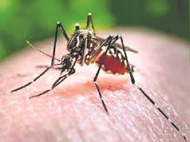 जयपुर में 24 घंटे में डेंगू के 230 मरीज, दो दिन में 5 की मौत और 30 की स्थिति गंभीर|जयपुर,Jaipur - Dainik Bhaskar