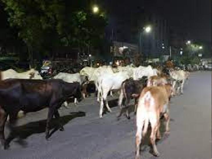 आवारा गायों ने सींगों से किया हमला, पार्षद का हाथ फ्रैक्चर|अलवर,Alwar - Dainik Bhaskar