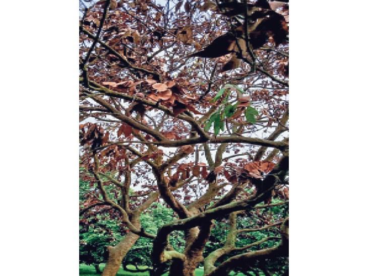 5 से 25 वर्ष तक के नए पेड़ अधिक सूख रहे, अगले सीजन में उत्पादन में भारी कमी की आशंका|मुजफ्फरपुर,Muzaffarpur - Dainik Bhaskar
