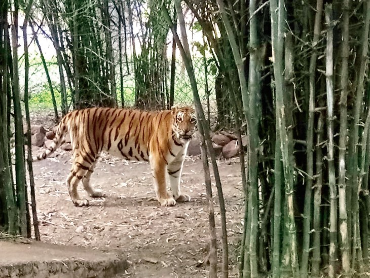देश में सबसे ज्यादा उम्रदराज बाघ, सिंह, भालू और लकड़बग्घा वन विहार में, खास बात- सभी मादा भोपाल,Bhopal - Dainik Bhaskar