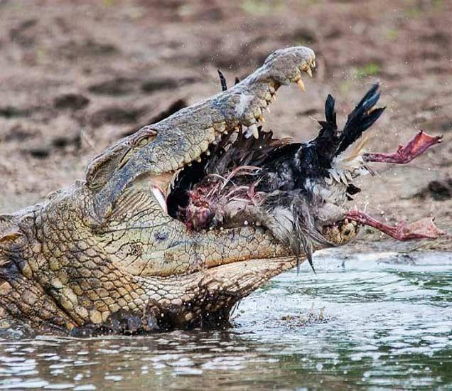 PHOTOS:  मगरीने बदकावर घातली झडप, काही सेकंदात टाकले गिळून| - Divya Marathi